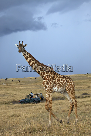 game drive safari watching masai giraffe