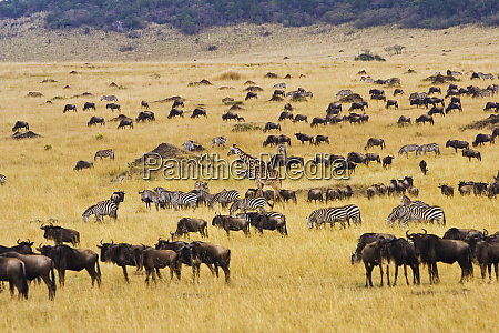 crossing of the mara river by