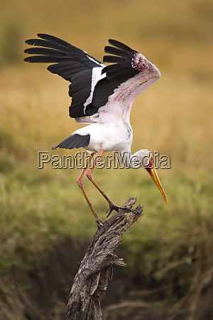 a yellow billed stork getting ready