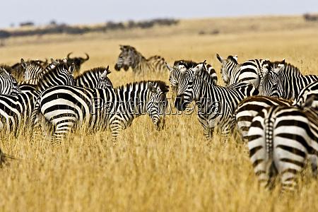 zebras herding in the fields of