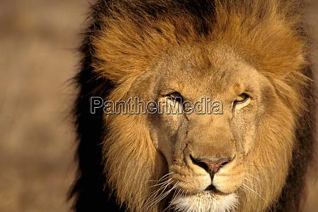 africa kenya masai mara lion male