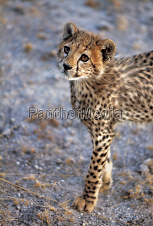 africa kenya amboseli np a cheetah
