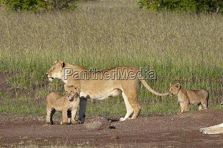 lion panthera leo masai mara kenya