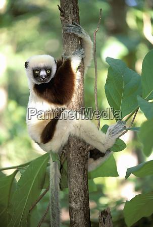 africa madagascar western dry forest coquerels
