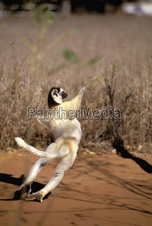 africa madagascar berenty verreauxs sifaka propithecus