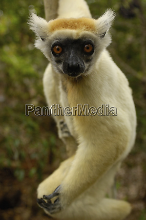 golden crowned sifaka or tattersalls sifaka