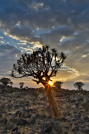 quiver trees landscape at sunrise namibia