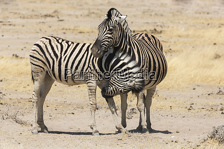 namibia a young zebra nudges its