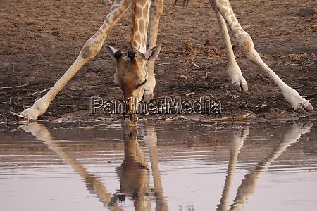 a giraffe giraffa camelopardalis angiogenesis bends