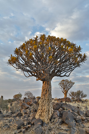 quiver trees landscape namibia