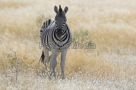 zebra in grasses on the savannah