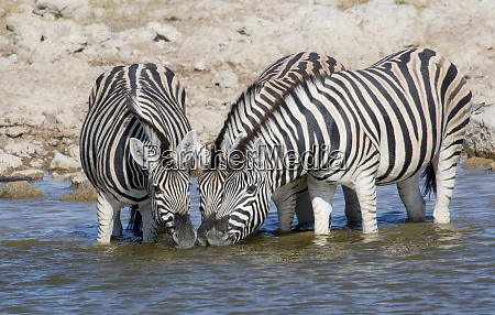 zebras lined up drinking at waterhole