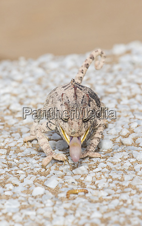 namaqua chameleon on white marble and