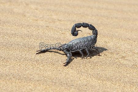 africa namibia swakopmund black scorpion parabothus