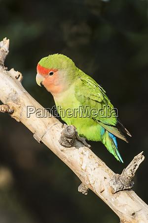 africa namibia keetmanshoop parakeet