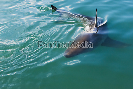 great white shark in the water