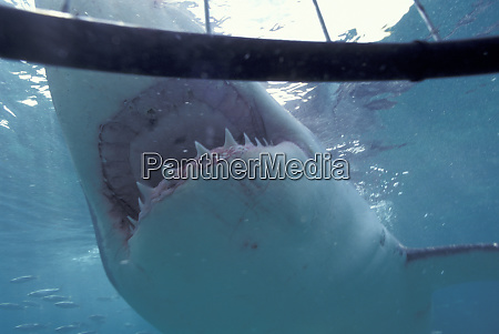 africa south africa gansbaii great white