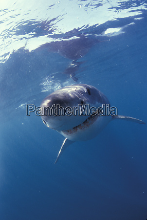 africa south africa great white shark