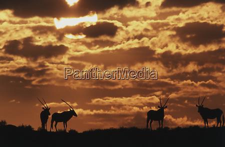 south africa kalahari gemsbok national park