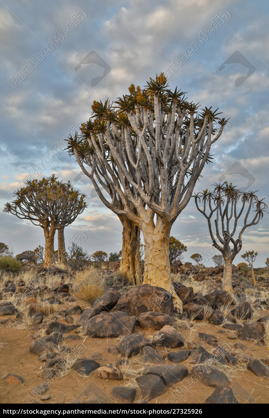 africa, , namibia, , keetmanshoop, , quiver, tree, forest - 27325926