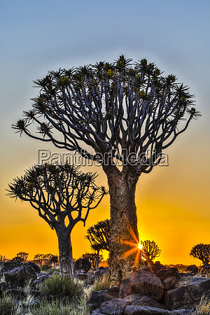 africa, , namibia, , sunrise, at, the, quiver - 27325931