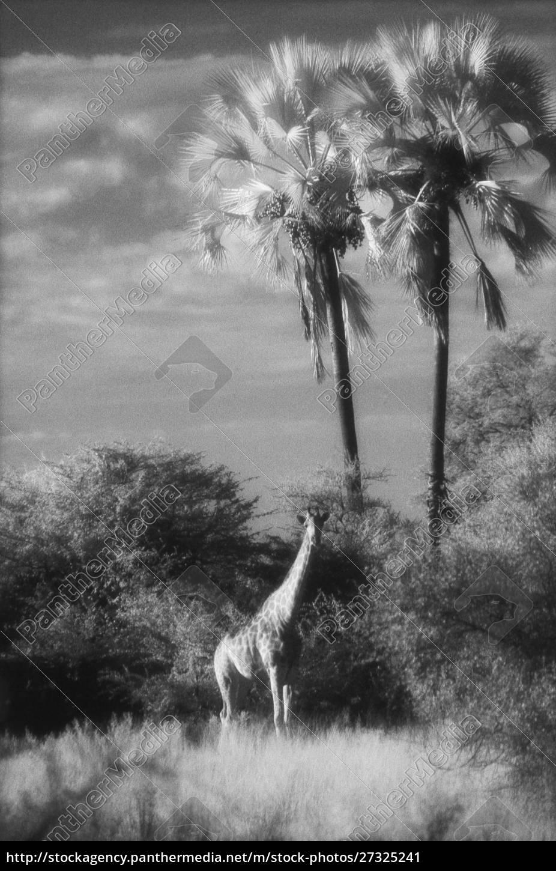botswana, , giraffe, (giraffa, camelopardalis) - 27325241