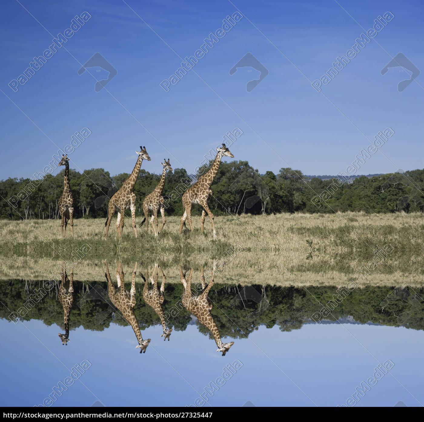 masai, giraffes, , giraffa, camelopardalis, , masai, mara, - 27325447