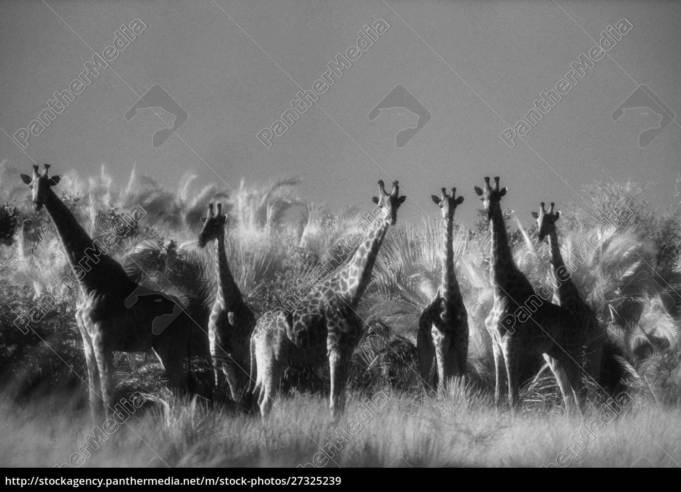 reticulated, giraffe, standing, in, forest - 27325239