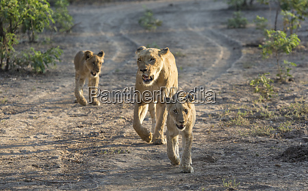 africa zambia lioness walking with cubs