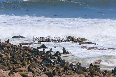 seal colony at cape cross on