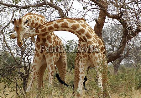 niger koure giraffes fighting in the