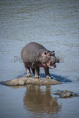 africa tanzania serengeti national park hippo
