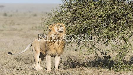 africa tanzania ngorongoro conservation area male