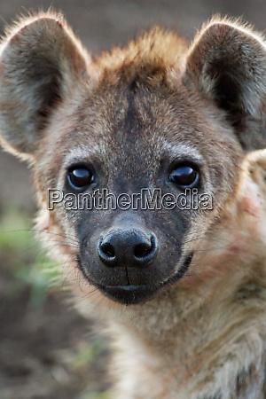 africa tanzania young spotted hyena crocuta