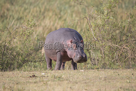 africa tanzania ngorongoro crater hippopotamus amphibius