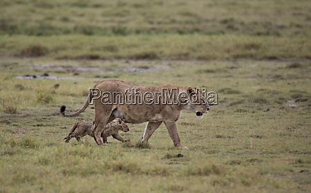 africa tanzania ngorongoro crater lioness panthera