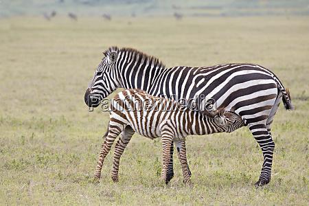 africa tanzania ngorongoro crater burchells or