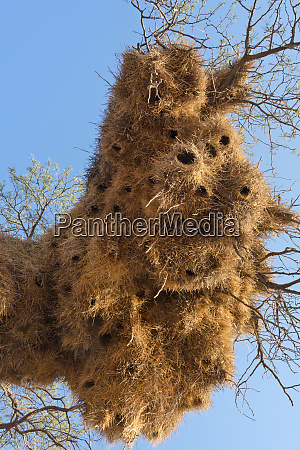 social weaver colony nests on a