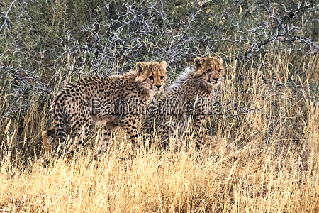 cheetah cubs kgalagadi transfrontier park south