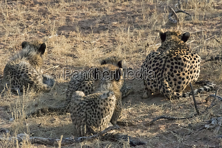 cheetah mother with cubs hunting kgalagadi