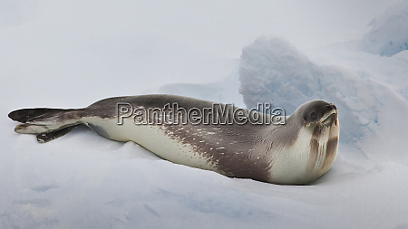 ross sea antarctica rare ross seal