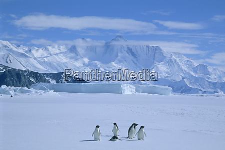adelie penguins pygoscelis adeliae antarctica cape