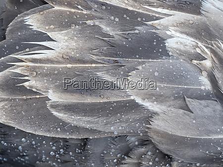 brown skua stercorarius lonnbergi on south