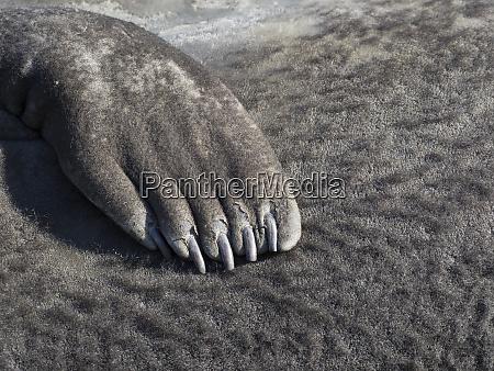 southern elephant seal mirounga leonina flipper
