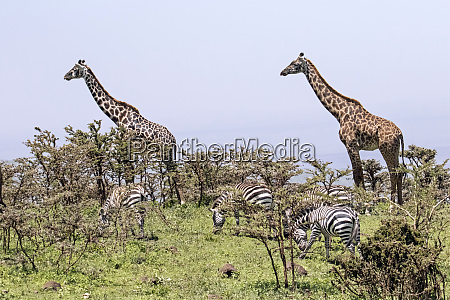 africa tanzania ngorongoro conservation area giraffes