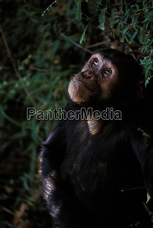 africa tanzania mahale national park chimpanzee