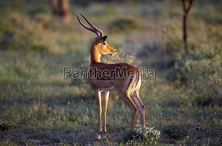 impala aepyceros melampus in late afternoon