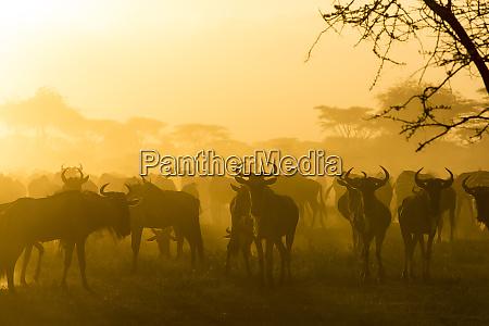 herd of wildebeests silhouetted in golden