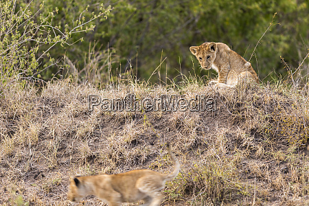 lion cub stalking its sibling in