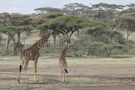 mother and baby giraffe with acacia
